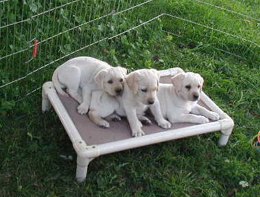3 yellow pups